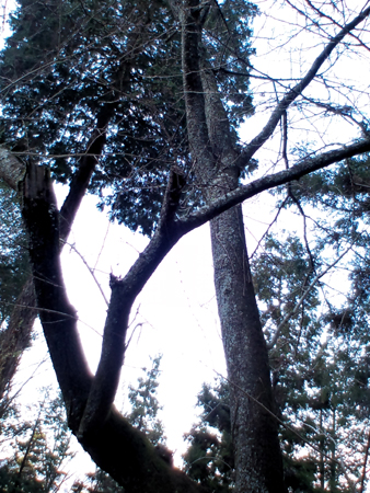 岩山宮様前の桜の木
