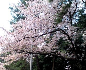 桜吹雪の中歩きました