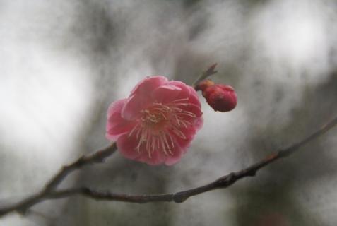 2012-03-05 梅とふきのとう 004 (800x536)