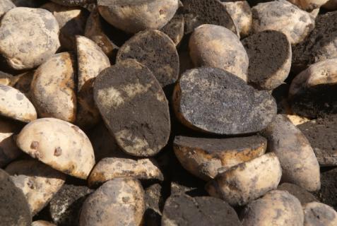 2012-03-12 23年度年少、年中じゃがいも種イモ植え 003 (800x536)