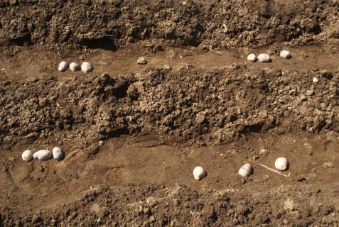 2012-03-12 23年度年少、年中じゃがいも種イモ植え 051 (800x536)