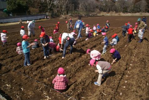 2012-03-12 23年度年少、年中じゃがいも種イモ植え 081 (800x536)