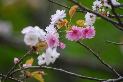 奈良八重桜 (3)