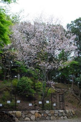 奈良八重桜 (2)