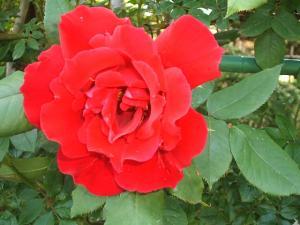 バ~ラが咲いた×2真っ赤なバ~ラが~