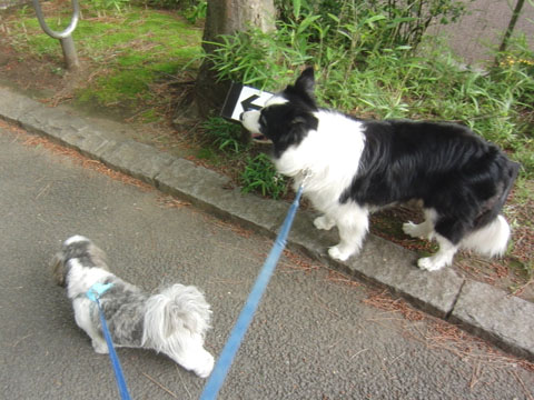2匹で散歩