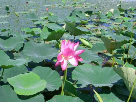 瓢湖の蓮-20090824