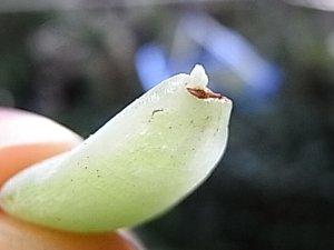 ホワイトローズ(静夜?)葉っぱ