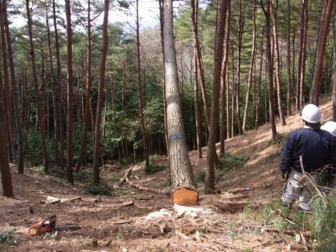 信州伐採3