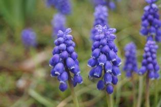 ダーノ青い花
