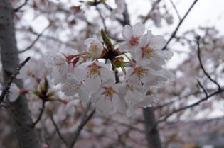 ダーノ桜2