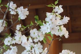 お店の桜2