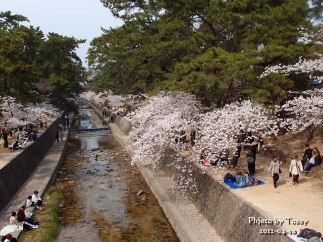 夙川 満開の桜