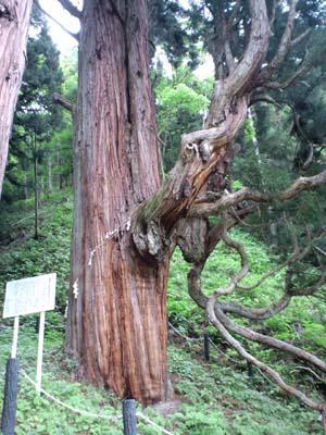 鳴尾のさかさ杉