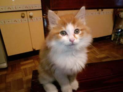 我が家のネコ、ぴーすけ