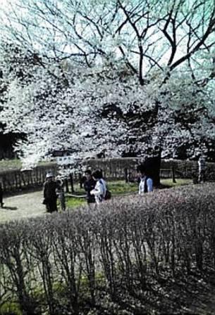 醍醐桜01