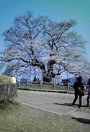 醍醐桜02