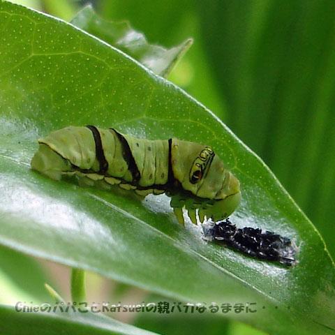 アゲハの終令幼虫 2011-05-22