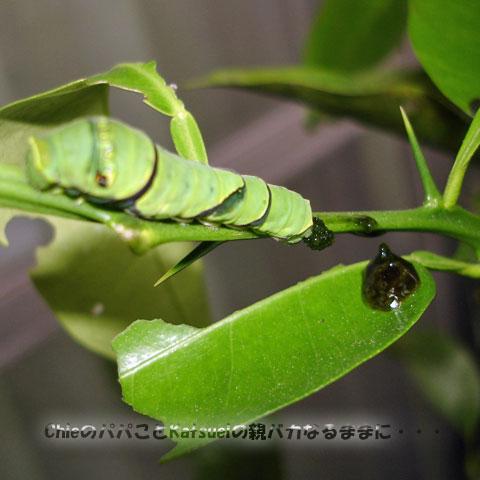 アゲハの幼虫 2011-05-24