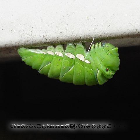 アゲハの前蛹 2011-05-28