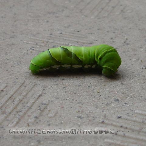 アゲハの幼虫 2011-05-28