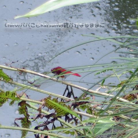 アカネ 2011-07-23