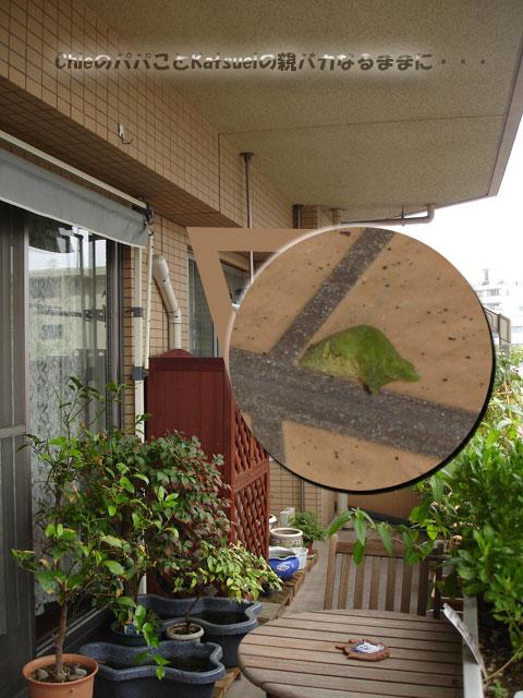 アゲハの蛹 2011-08-21