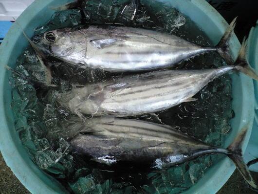 初松魚(初鰹)♪