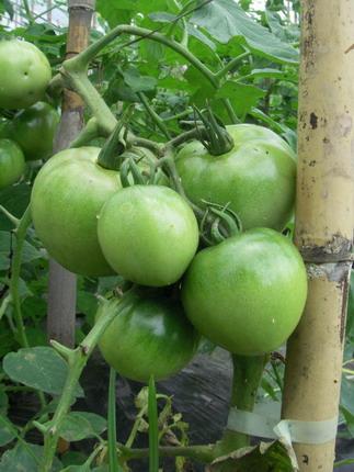 110624トマト