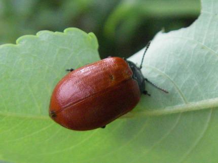110628ヒメコガネ褐色型