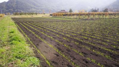2011-11-1黒麦