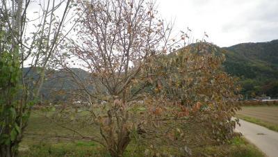 2011-11-2柿取り5
