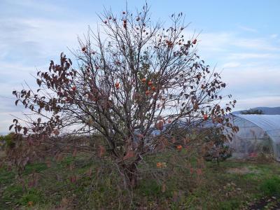 2011-11-8柿