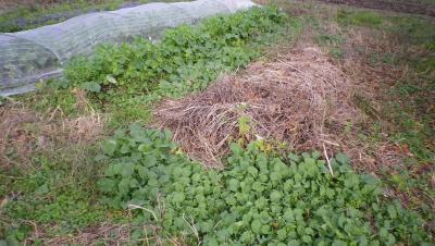 2011-11-11冬菜