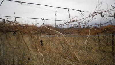 2012-1-16ぶどう