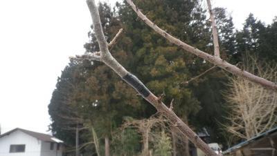 2012-2-14リンゴの接木