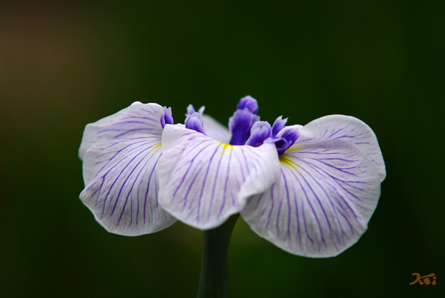 110620花ショウブ01
