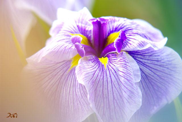 110620花ショウブ12