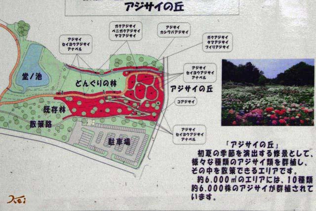 110703紫陽花_荻窪公園02