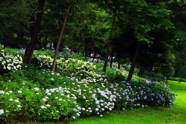 110703紫陽花_荻窪公園09