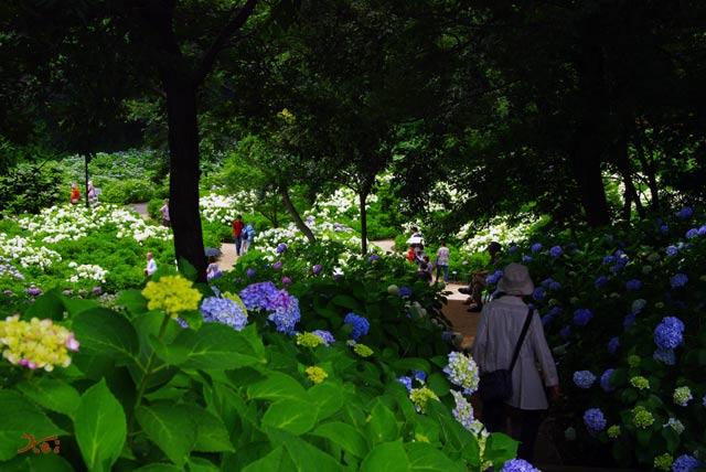 110703紫陽花_荻窪公園13
