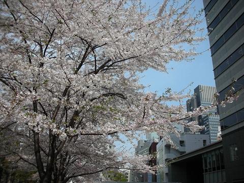 1新宿の桜