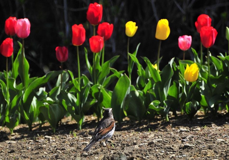 ツグミと花