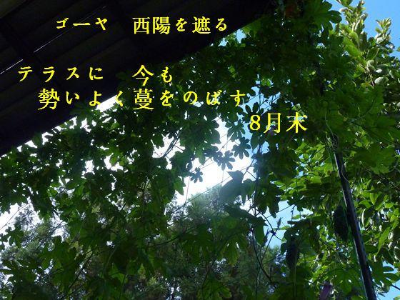 緑のカーテン 8月25日