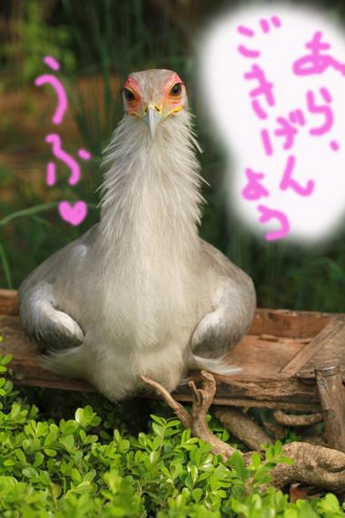 鳥さん5 ヘビクイワシ