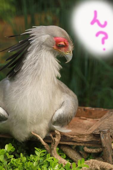 鳥さん6 ヘビクイワシ
