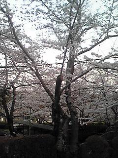 4/7(桜)