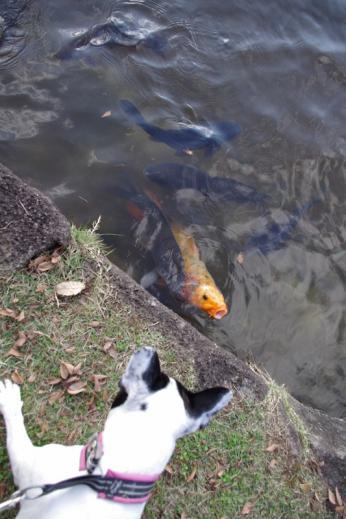 鯉を見るうき
