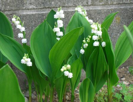 今日のお花 3_convert_20110502224843