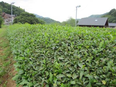 清川の茶畑 ―中刈り―